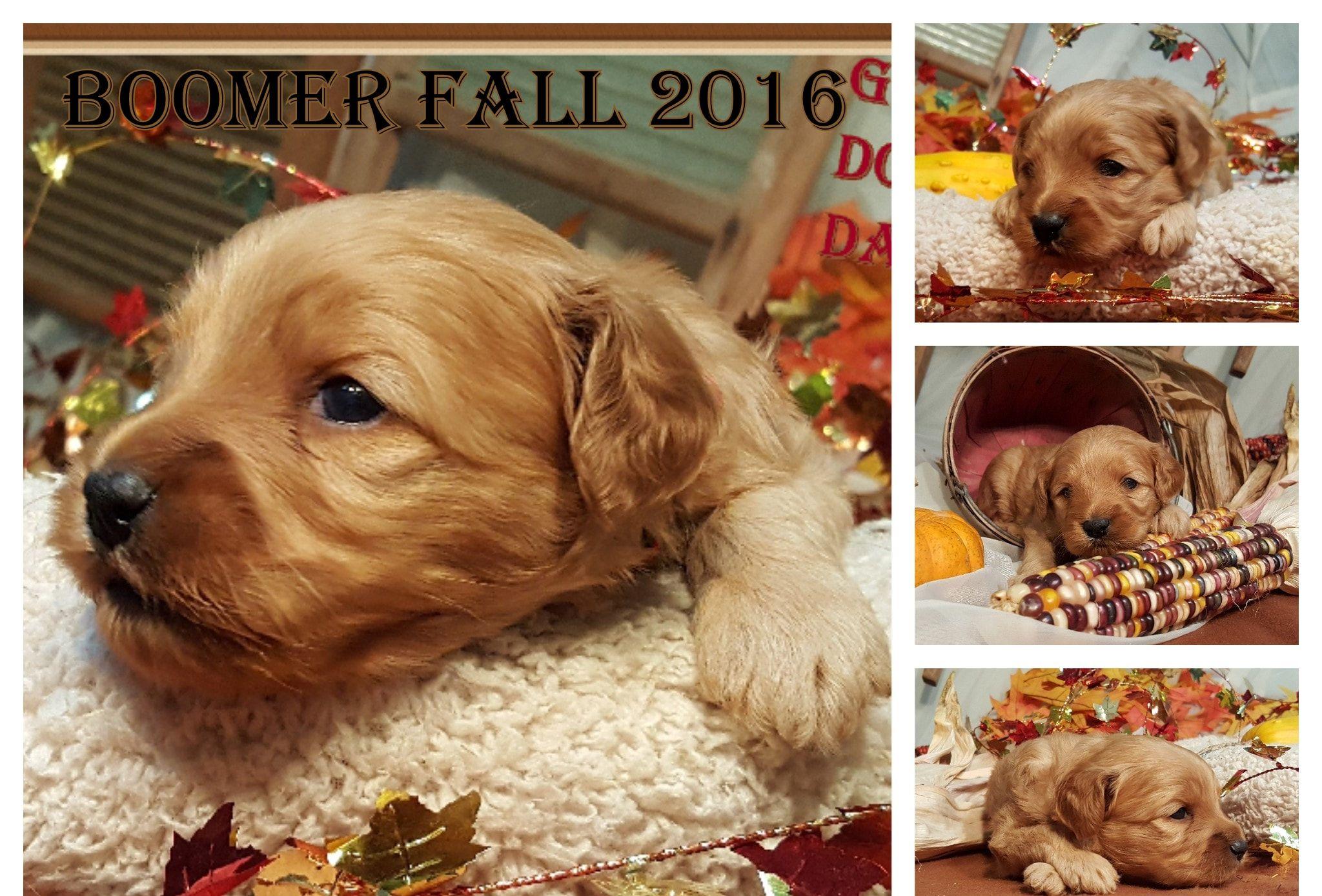 New cavapoo and goldendoodle puppies - Golden Doodle Dandy